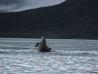 Dolphins in Raasay Sound